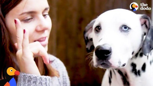 Deaf Dog Story: Deaf Dalmatian Trained in Sign Language