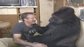 Famous Koko the Sign Language Gorilla Dies At 46