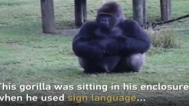 Gorilla's Sign Language To Communicate With Zoo Visitors