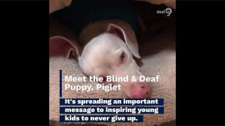 Meet the Blind & Deaf Puppy Piglet Which Inspires Young Kids to Never Give Up